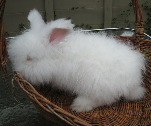 English Angora Rabbit fiber 'Sherman' 1.5 oz, 4 inch staple