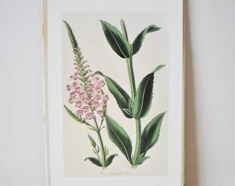 Verbena Botantical Print...VerPaxton Botanical 1838 H/C: Physostegia Imbricata