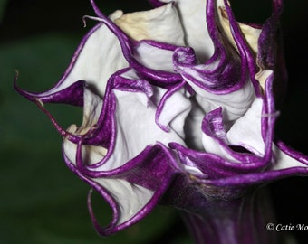 Triple Datura Purple Ballerina Seeds Moon Garden
