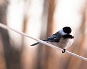 Nature photography chickadee - Bird on a Wire - 5x7 early spring bird print neutral home decor Mother's Day