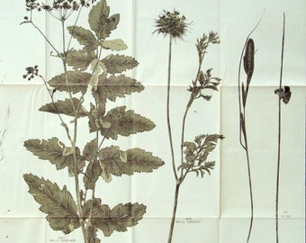 Large Vintage Botanical Print of Wild Plants - Silver Weed, Cat's Ear, Ruttle, Horse Tail, etc.