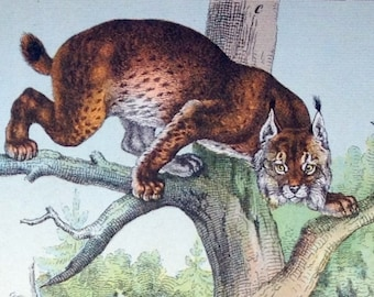 Antique Print of Pumas - Leopards - Wildcats - 1889 Vintage Chromolithograph of Cats