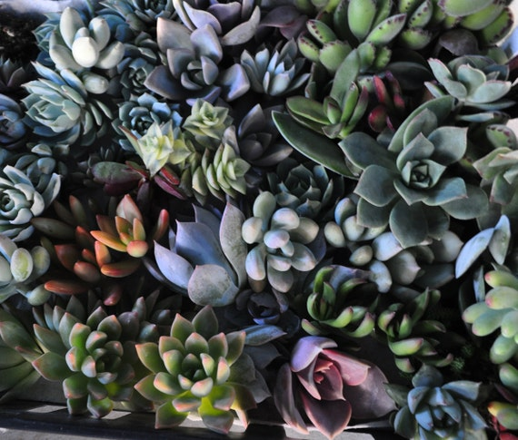 12 Succulent Cuttings with Rooting Powder for Wedding Favors, Centerpieces, Bouquets, Wreaths, Flat Panel Living Walls