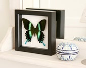 Real Framed Butterfly Taxidermy Display Peacock Swallowtail