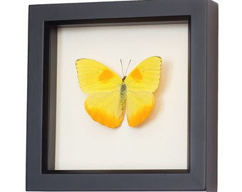 Real Butterfly Decor Framed display with Sulphur Butterfly