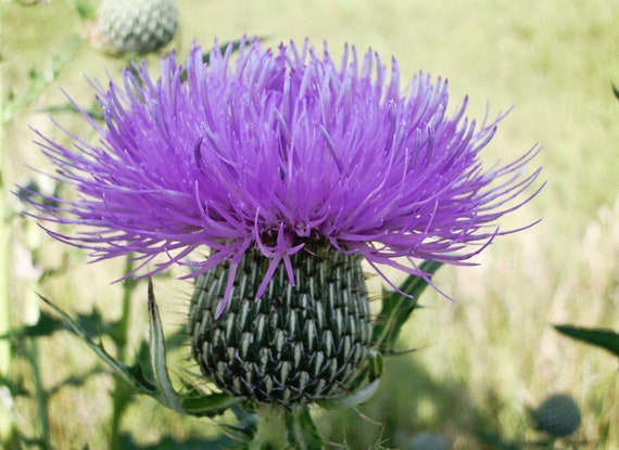 Thistle Bloom Greeting Card - Nature - Purple - Wildflower - Iowa Photography - Floral Photography Print -  Photography Cards