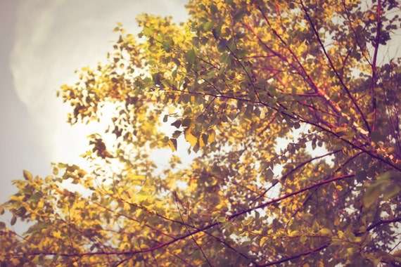 Into the Treetops - 8 x 12 Fine Art Photograph - gold brown autumn nature tree landscape home decor print