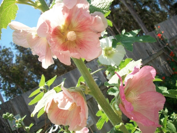 Seeds Organic Hollyhock Color Mix