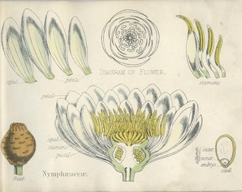 Water Lily, Antique Botanical Print, 1874, Vegetable Kingdom, Fitch, Flower, Plate 3 Natural History, Nymphaeaceae Hand Colored