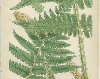 Antique Botanical Fern Print, 1851, Rare Male Fern, 8, British Natural History, Fitch, Hand Colored (coloured)