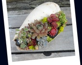 Sea Shell Garden Planter - Sweet Garden Gift ,  Easy to care for, perfect for desk.