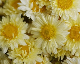 Chrysanthemum, Shungiku/Edible Serrated Chrysanthemum Leaves - 'Flavin' - Highly Nutritious Beautiful Plants