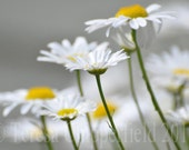Daisy, Daisy, Fine Art Flower Photo Print, 8 x 12, 12 x 18,10x13, White Yellow Macro Wildflower Music hall song wall art kitchen home decor