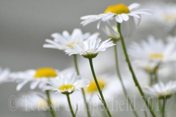Daisy, Daisy, Fine Art Flower Photo Print, 8 x 12, 12 x 18,10x13, White Yellow Macro Wildflower Music hall song wall art kitchen home decor