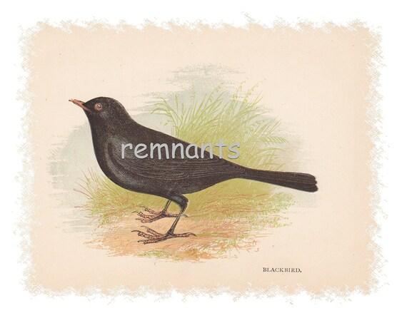 BLACKBIRD 1857 Genuine Anne Pratt Birds Plate Print RARE
