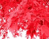 Red Leaves - Wall Art/Woodland/Nature/Home Decor/Spring/Summer - 5 x 7 Print