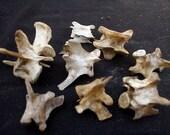 x8 Nature Cleaned Lumbar Vertebrae - Real Bone, Taxidermy, R64408 - Grade A/B