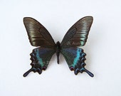 Real Butterfly Specimen Unmounted Ready Spread, The Alpine Black Swallowtail