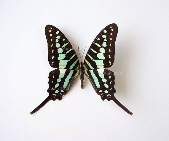 Real Butterfly Specimen Unmounted Ready Spread, Turquoise-spotted Swordtail