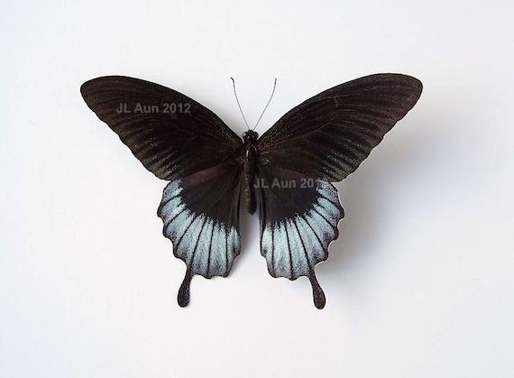 Real Butterfly Specimen Unmounted Ready Spread - Asian Swallowtail