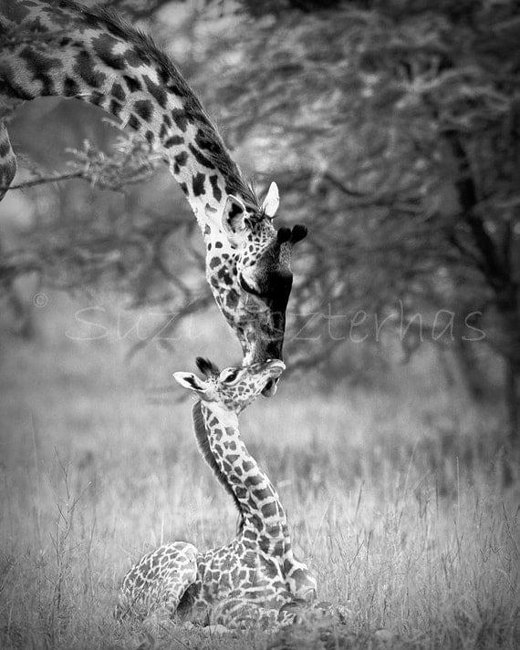 Baby Giraffe and Mom Black and White Photo Print African