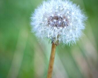 "Dandelion soft focus. photography print 8""x10"""