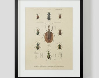 Insect Coleopteres Entomology Plate 2