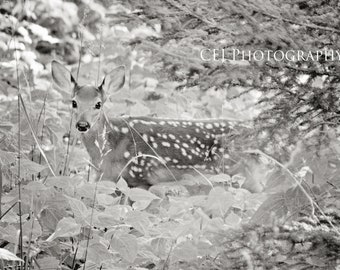 Fond of Fawns II Black & White
