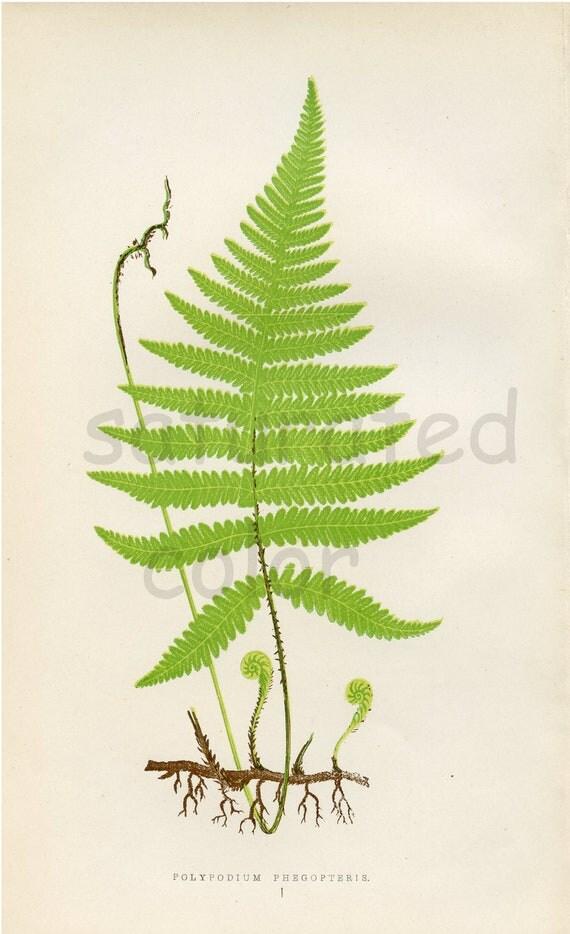 Antique Fern Chromolithograph Original Print - Green Fern Frond - Antique 1874 Edward Lowe Fern - No. 1 - Chartreuse