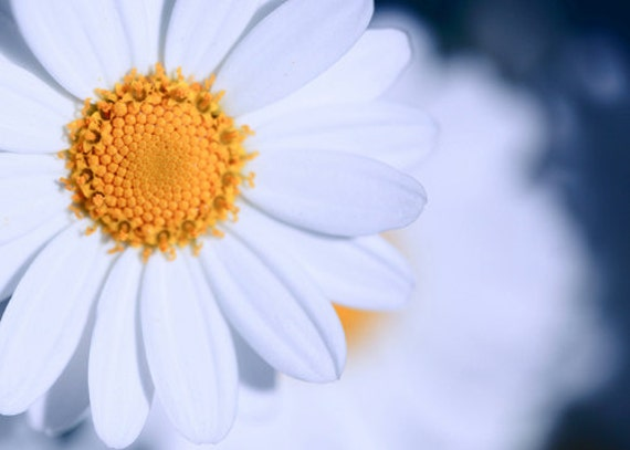 Flower Photography Macro Photography Nature Photography Spring decor flower white daisy blue wall art  Fine Art Photography Print