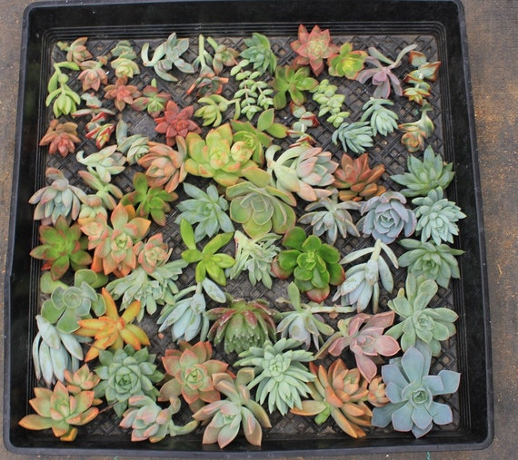 "Wedding Favors Succulents 25 (1-3""inch)  ROSETTE Succulent CUTTINGS (8 Varieties) bouqet centerpiece Succulents"