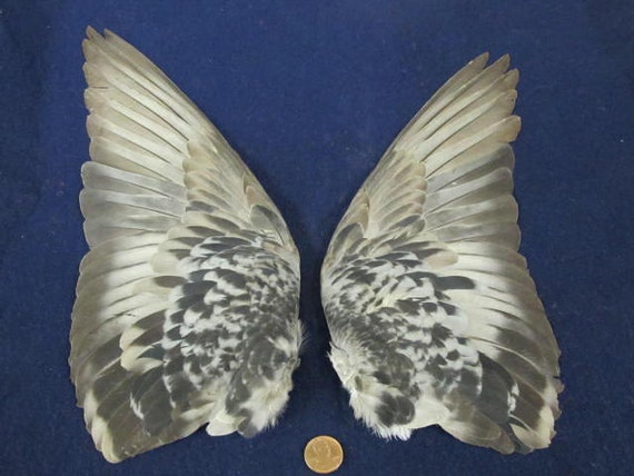 Pair  Grey Chequered  Fanned Out Dried Pigeon  Birds Wings Feathers Art Craft Taxidermy