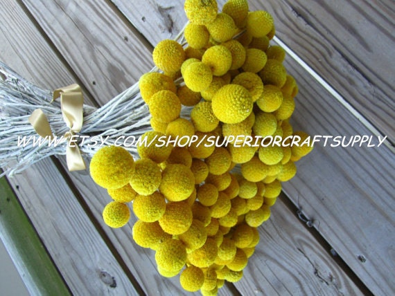 "Craspedia - Billy Balls - Billy Buttons  -- set of 12  -- Preserved  -- 14"" long"