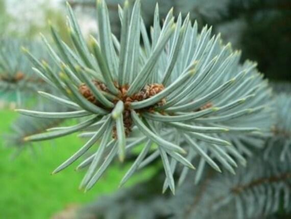 1lb Dried Balsam Fir Needles Bulk // Wild Harvested, USA Grown // Crafting Traditional Christmas Fragrance Potpourri Sachet Making