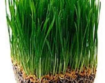 Organic Wheat Seed, Wheat Grass, CatGrass, Wheat Juice ( 12 oz ) Free Shipping