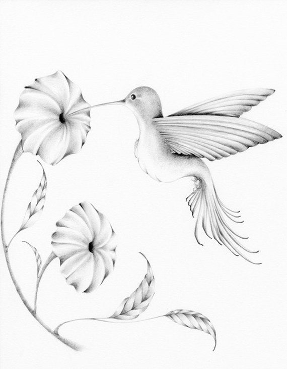 Gallery For gt Hummingbirds Drawing