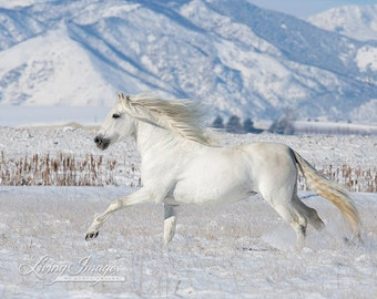 Andalusian In the Snow - Fine Art Horse Photograph - Horse - Snow - Andalusian - Fine Art Print