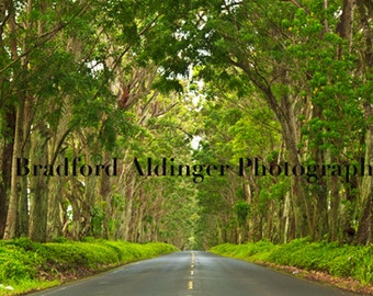 Maluhia Road Tree Tunnel, Kauai, Hawaii - Photograph