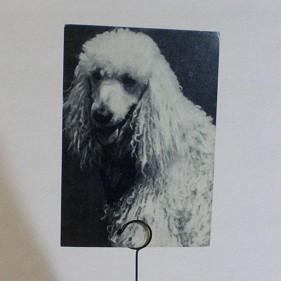 Vintage Dogs Series (Puddle) Photo Postcard - 1968