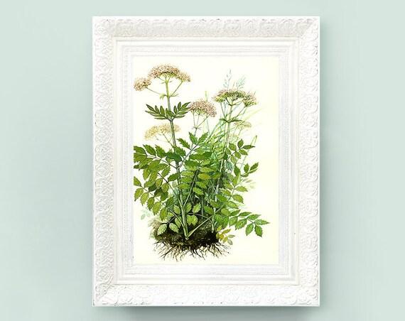 Vintage Botanical Print. Encyclopedia Illustration. Valerian Wildflower Print 4x7 Educational Learning flower bot57
