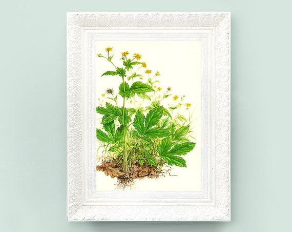 Vintage Botanical Print. Encyclopedia Illustration. Wood Avens Wildflower Print 4x7 Educational Learning flower bot57