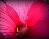 Photo Detailed Close up Pink Hibiscus LandscapeMissouri8x10Karen A Webb Photography