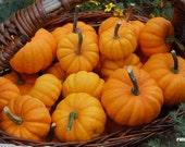Pumpkin photograph, Autumn, Fall, Nature, Harvest, Orange, Home decor, 12x8 - titled: Pumpkin Harvest