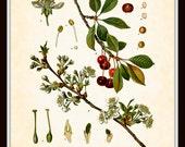 Antique Cherries Prunus Cerasus Botanical Art Print 8x10 - Series Kohler Medicinal Plants 1887 Home Decor Home and Garden