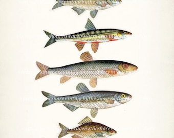 A Natural History of Fish Nautical Art Print Print 8x10