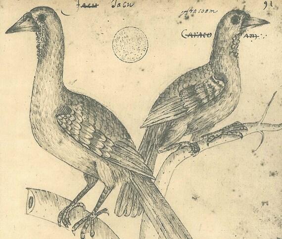 Birds Sketch Drawing  Vintage Maranhao  Brazil Frei Cristovao