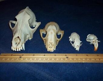 4 Real animal bone  Skull parts taxidermy craft supply coyote raccoon mink muskrat