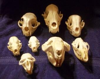 8 Real animal bone  Skull parts taxidermy heads bobcat beaver raccoon mink skunk coyote opossum muskrat