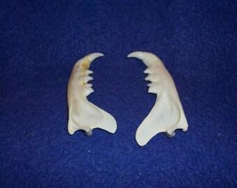 2 Real animal bobcat  jaws teeth head skeleton taxidermy part