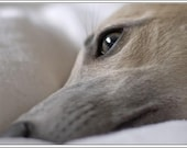 4 Dog Dogs Puppy Puppies Whippet  Greeting Notecards/ Envelopes Set